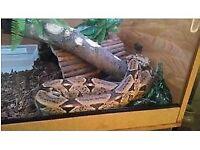 snake and 4x2x2 Viv