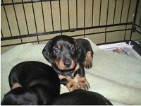 4 miniature dachshund puppies