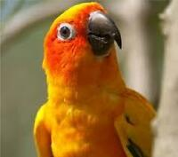Expirienced Owner Looking for a tame Conure