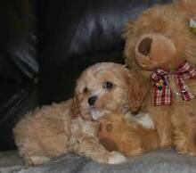 Looking to buy a Cavoodle! Balgowlah Manly Area Preview
