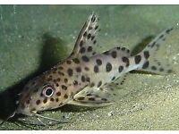 Leopard catfish cat fish
