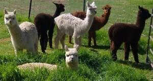 Young Alpaca Females Bullsbrook Swan Area Preview