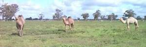 Female Camels Kyabram Campaspe Area Preview