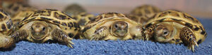 Captive bred Russian Tortoise babies For Sale