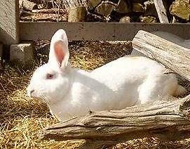 "Young Female Rabbit - New Zealand: ""Alice"""