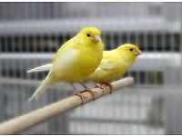Roller Canaries for sale, Excellent breed, 5 months old