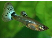 mixed adult guppies