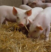 Healthy Piglets for sale
