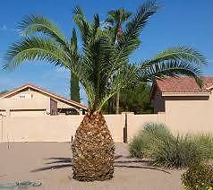 Date Palm Wanted Large. Echuca Campaspe Area Preview