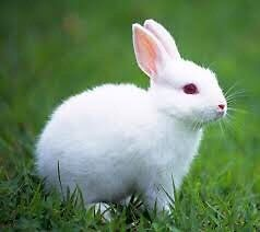 Looking for a WHITE rabbit