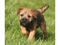 i am selling 2 puppies girls, border terrier pups. they are both 10 weeks old.