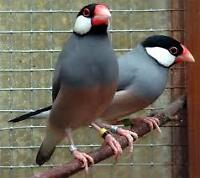 Java Rice Finch Pair