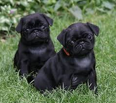 Wanted: Black Pug Puppy (Female or Male) Balmain Leichhardt Area Preview