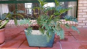 PHILODENDRON PLANT IN GLAZED POT East Kurrajong Hawkesbury Area Preview