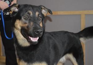 """Young Male Dog - German Shepherd Dog-Husky: """"Tucker"""""""