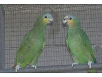orange wing amazon parrot