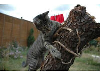 2 male tabby cats need a new home
