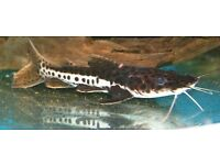 Red Marbled Catfish around 3 inches size. £4