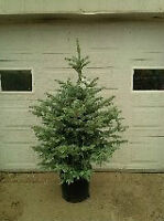 BEAUTIFUL 3' - 5' Baby Blue Spruce - Potted