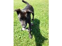 11 month collie/staffie cross needs a good home