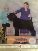 CKC Registered Black Russian Terrier