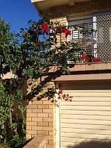 Bougainvillea- Flowering climber Panania Bankstown Area Preview