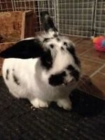 Good home needed for Pet Rabbit
