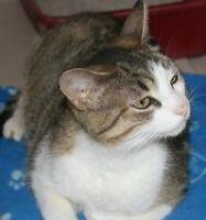 "Adult Female Cat - Tabby: ""Ashley"""