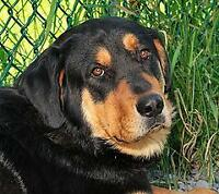 """Adult Male Dog - Bernese Mountain Dog-Rottweiler: """"Brody"""""""