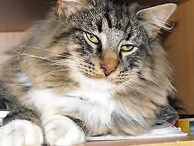 Lost Male Grey Tabby Norwegian Forest Cat