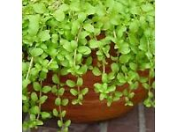 Mint - Growing in 7cm Pot –Full of Flavour - Cut and Come - 50p each