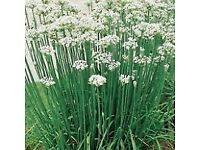Chives Garlic/Chinese Chives Herbs - Growing in 7cm Pot –Full of Flavour - cut and come - 50p each
