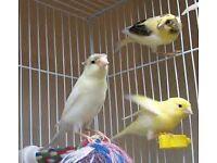 irish canaries