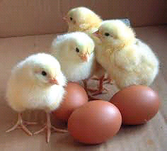 Baby Chicks forsale    chickens fertalized eggs as well