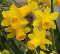 50 daffodill bulbs for $20*******************