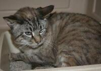 "Adult Male Cat - Domestic Short Hair-white-Tabby: ""Beau"""