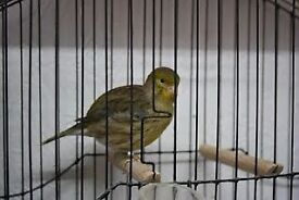 Green canary for sale!