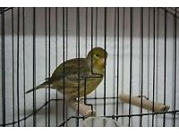 green male canary for sale!