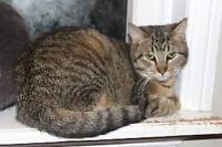 """Young Female Cat - Domestic Short Hair: """"Carley"""""""