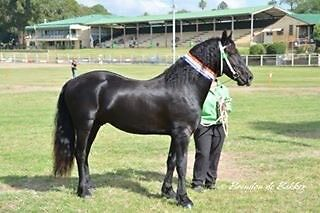 FRIESIAN STALLION SPECIAL PRICE STUD FEE Yetman Inverell Area Preview