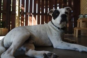 staffy x - loving dog looking to be adopted/ rehomed Kingscliff Tweed Heads Area Preview