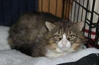 "Adult Male Cat - Domestic Short Hair: ""Buster"""