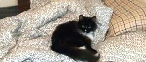 """Senior Male Cat - Domestic Long Hair: """"Wylee"""" Downtown-West End Greater Vancouver Area image 3"""