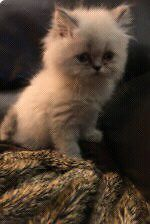 Persian Himalayan with shots  London Ontario image 1