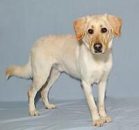 "Young Male Dog - Labrador Retriever: ""Jaxon"""