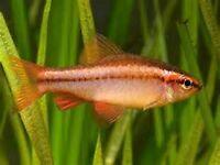 12 cherry barbs tropical fish