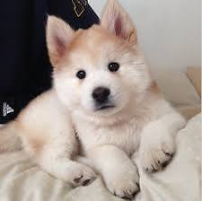 Looking for a medium size fluffly puppy