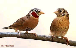 ISO pair of cutthroat finches