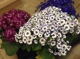 MOTHER'S DAY GIFT CINERARIA HOUSEPLANT, VARIOUS COLOURS