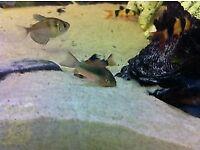 tropical fish cory catfish